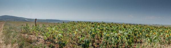 bulgaria-girasoli-panorama