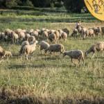 macedonia-campagna-pecore