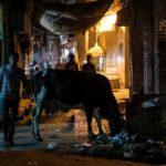 viaggio in india amritsar vacche sacre